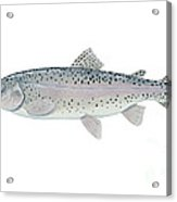 Illustration Of A Steelhead Trout Acrylic Print by Carlyn Iverson