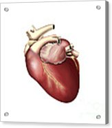 Illustration Of Human Heart Acrylic Print by Stocktrek Images