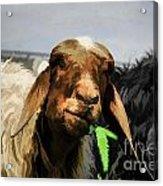 Illustration Of Sheep  Acrylic Print