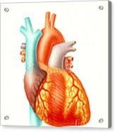 Illustration Of The Human Heart Acrylic Print