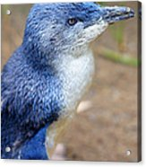 I'm Blue - Penguin Acrylic Print by DerekTXFactor Creative