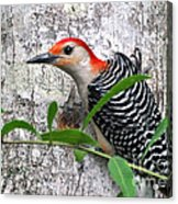 I'm So Handsome - Red Bellied Woodpecker Acrylic Print