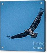 Immature Bald Eagle In Flight Acrylic Print