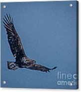 Immature Bald Eagle Acrylic Print