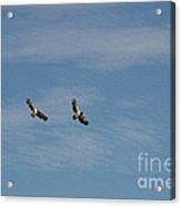 Immature Bald Eagles In Flight Acrylic Print