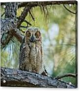 Immature Great Horned Owl Acrylic Print