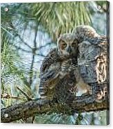 Immature Great Horned Owls Acrylic Print