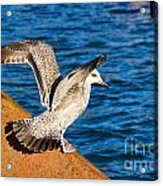 Immature Herring Gull At The Harbour Acrylic Print
