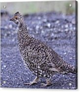 Immature Male Dusky Grouse Acrylic Print