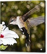Immature Ruby-throated Hummingbird Acrylic Print