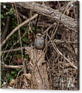 Immature White-throated Sparrow Acrylic Print