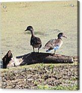 Immature Wood Ducks Acrylic Print