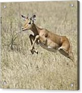 Impala Leaping Through Savanna Acrylic Print