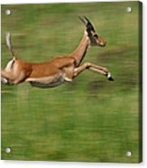Impala  Running And Leaping Acrylic Print