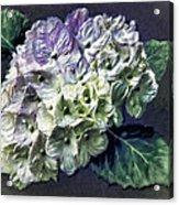 Impasto Hydrangea Acrylic Print by Jill Balsam