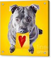 Imploring Staffie With A Sticky Note On His Mouth Acrylic Print