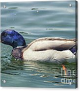 In A Hurry Acrylic Print