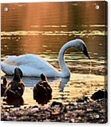 In A Stream Of Golden Light Acrylic Print