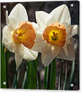 In Conversation - A Couple Of Daffodils Huddled Together Acrylic Print