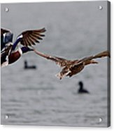 In Flight Side By Side Series 2 Acrylic Print