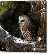 In Hiding Saw Whet Owl In A Hollow Stump Is Part Of The Birds Of Prey Fine Art Raptor Wildlife Photo Acrylic Print