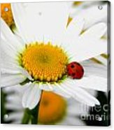 In Love With A Ladybug And A Daisy Acrylic Print