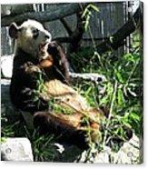 In Need Of More Sleep. Er Shun Giant Panda Series. Toronto Zoo Acrylic Print