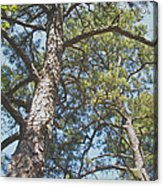 In New Jersey's Pinelands Acrylic Print