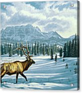 In The Absarokas - Elk Acrylic Print