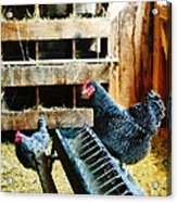 In The Chicken Coop Acrylic Print