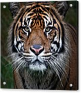 Tiger In Your Face Acrylic Print