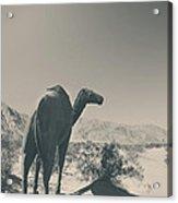 In The Hot Desert Sun Acrylic Print
