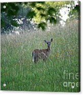 White-tailed Deer In Meadow  Acrylic Print