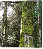 In The Pines  Acrylic Print