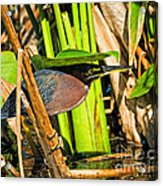 In The Shade Little Green Heron Acrylic Print