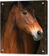 In The Stable Acrylic Print