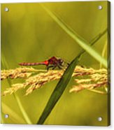 In The Tall Grass Acrylic Print