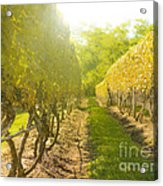 In The Vineyard Acrylic Print by Diane Diederich