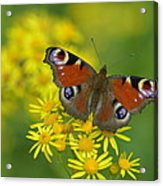 Inachis Io Butterfly On The Yellow Flowers Acrylic Print