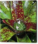 Inca Bromeliad Detail Acrylic Print