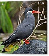 Inca Tern Acrylic Print
