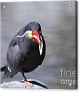 Inca Tern Eating Fish Acrylic Print