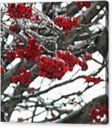 Incased Berries Acrylic Print