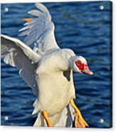 Incoming Muscovy Acrylic Print