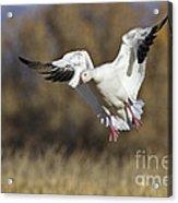Incoming Snow Goose Acrylic Print