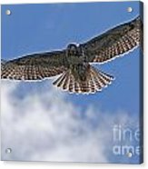 Incomming Redtail. Acrylic Print