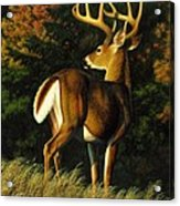 Whitetail Buck - Indecision Acrylic Print