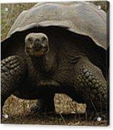 Indefatigable Island Tortoise Galapagos Acrylic Print