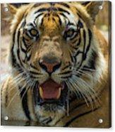 India Male Bengal Tiger (pantera Tigris Acrylic Print