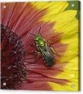 Indian Blanket And Bee Acrylic Print